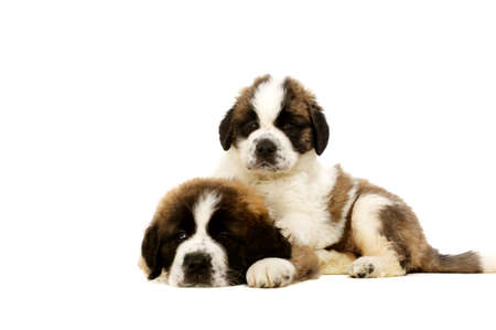 st bernard: Two St Bernard puppies laid isolated on a white background Stock Photo
