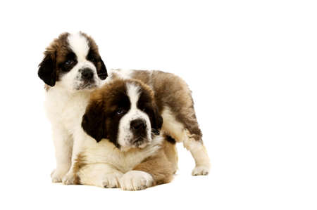 st bernard: Two St Bernard puppies together isolated on a white background