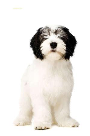 lowland: Polish Lowland Sheepdog puppy sat isolated on a white background
