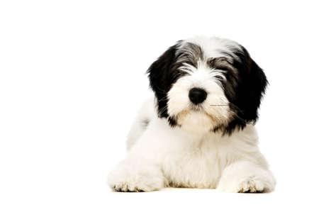 lowland: Polish Lowland Sheepdog puppy laid isolated on a white background Stock Photo