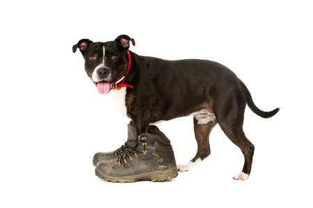 Staffordshire Bull Terrier wearing muddy walking boots looking at the camera isolated ono a white background photo