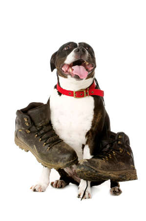 walking boots: Staffordshire Bull Terrier carrying muddy walking boots looking at the camera isolated on a white background