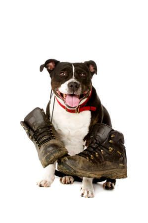 Staffordshire Bull Terrier carrying muddy walking boots looking at the camera isolated on a white background photo