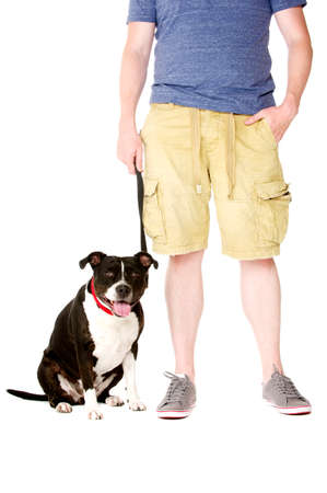 Staffordshire Bull Terrier on lead sat next to owner looking at the camera