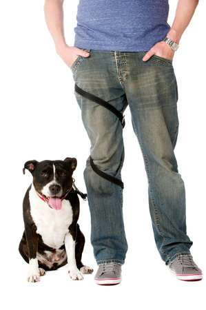 Staffordshire Bull Terrier on lead wrapped around owners legs Stock Photo