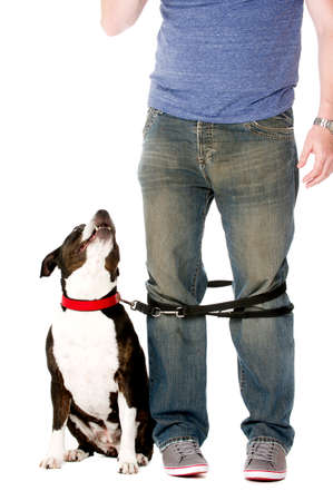 Staffordshire Bull Terrier on lead wrapped around owner's legs