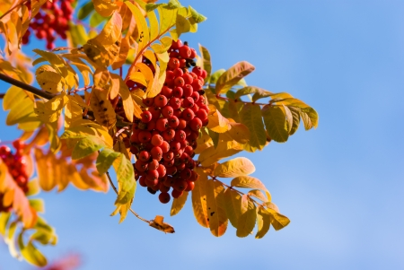 bunchy: Bunch of ashberry on blue sky background