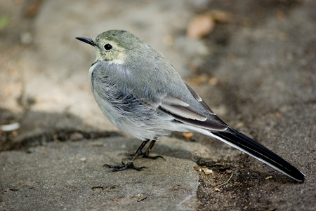 wagtail: small wagtail sits the sidewalk