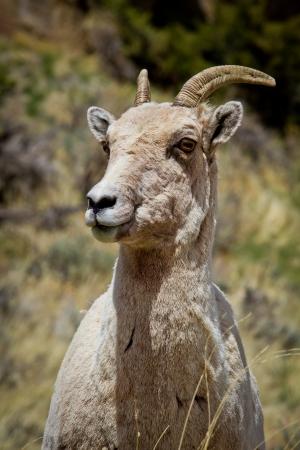 bighorn sheep: Bighorn pecore