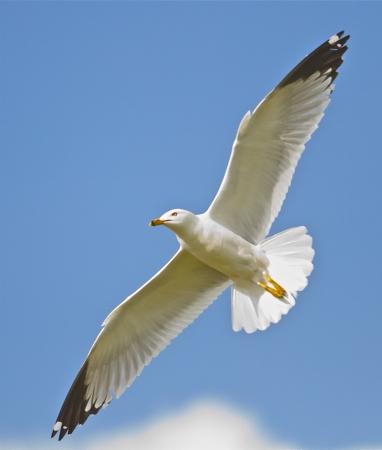 Seagull in de vlucht Stockfoto
