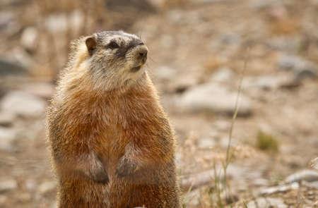 hog: Ground Hog Stock Photo