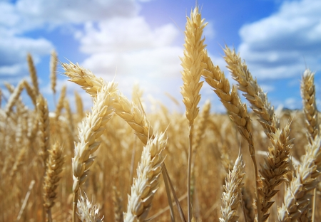 Close Up Ear of Wheat with blue Sky Background and White Clouds Stock Photo