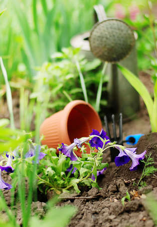 Purple petunia flowers with watering can on garden bed