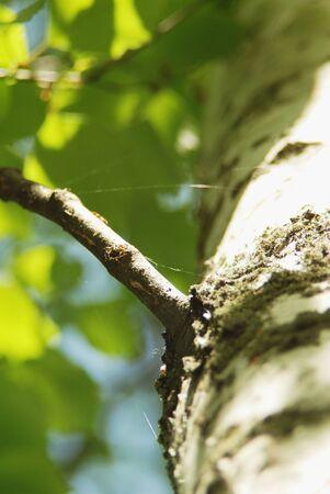 Spider net threads on the birch Branches