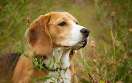 Beagle hunter dog lies quietly in the grass Stock Photo