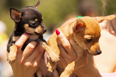 Chihuahua puppies close up portrait Stock Photo