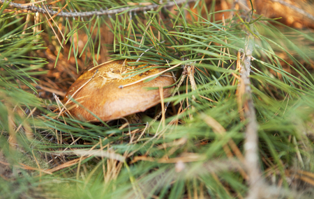 Suillus is a genus of basidiomycete fungi in the family Suillaceae and order Boletales Stock Photo