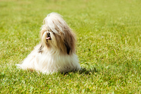 Shih Tzu Dog portrait Stock Photo