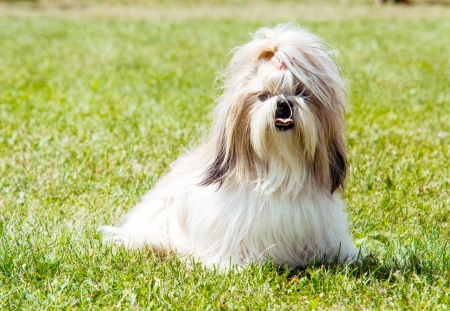 Shih Tzu Dog outdoor portrait Stock Photo