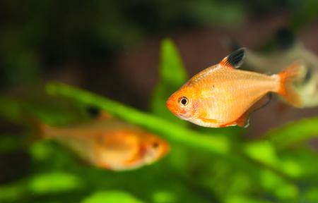 Minor tetra freshwater fish in aquarium