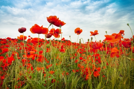 Wild Red Poppies countryside field with incredible sky