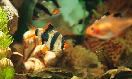 Tiger barbs and Minor tetra freshwater fish in aquarium Stock Photo
