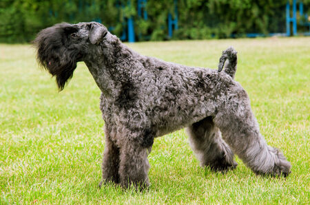 Kerry Irish Blue Terrier
