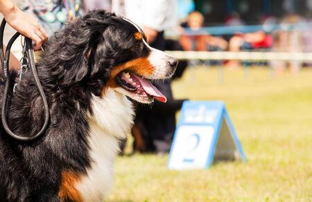 Bernese Mountain Dog - Berner Sennenhund during exhibition