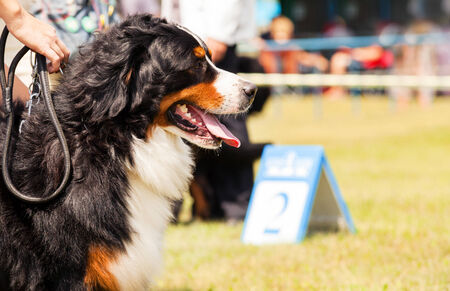 Bernese Mountain Dog - Berner Sennenhund during exhibition