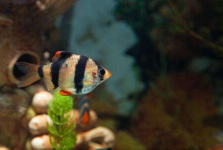 Alone Tiger barb freshwater fish in aquarium