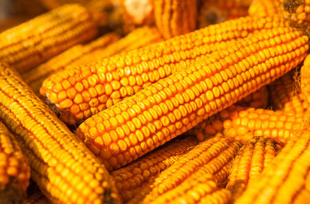 Yellow Corn ears Still life background Stock Photo