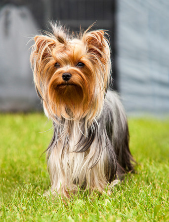 Walking in the Big City - Yorkshire Terrier portrait 스톡 콘텐츠
