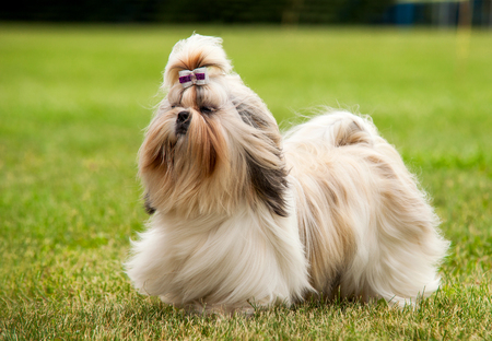 shihtzu: Shih Tzu running on the green grass moment