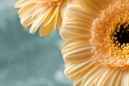 Apricot color Gerberas Macro shot Stock Photo