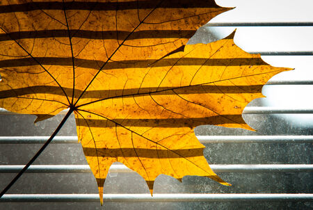Dry Maple leaf on the jalousie window background