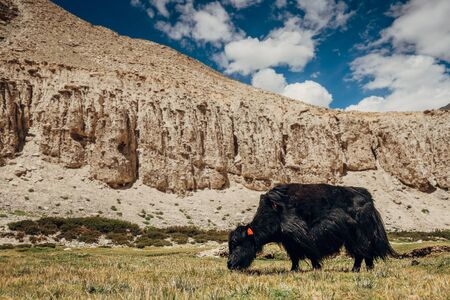 High mountain Tibetan yak feeding green grass at cca 5000 m altitude Stock Photo