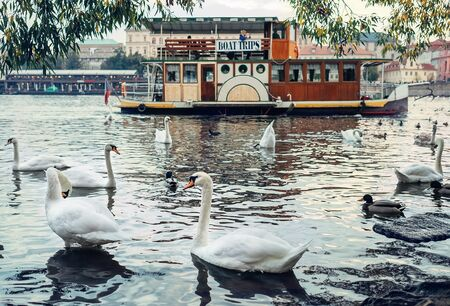 Swans on Vltava River with old ship background in Prague, Czech Republic