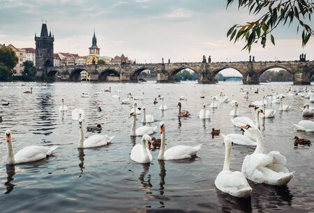 Swans in Vltava river with Karl Bridge on Background