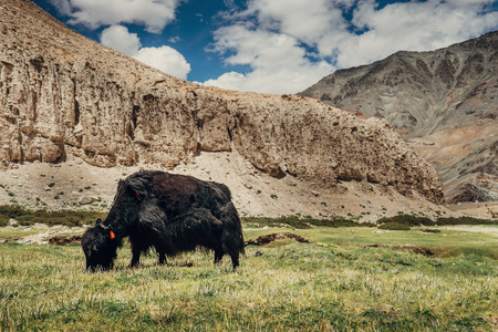 Yak feeds on mountain valley in Ladakh