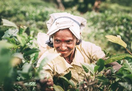 Ella, Sri Lanka - December 30, 2017: Old age female tea-picker picks up the fresh tea leaves in Ella town, Uva Province, Sri Lanka Editorial