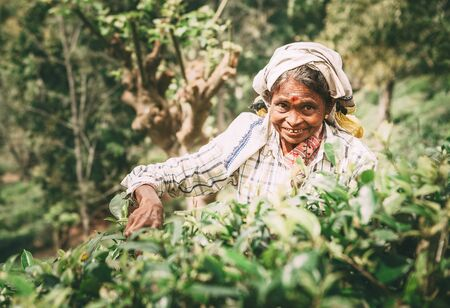 Ella, Sri Lanka - December 30, 2017: Old age female tea-picker picks up the fresh tea leaves in Ella town, Uva Province, Sri Lanka Editorial
