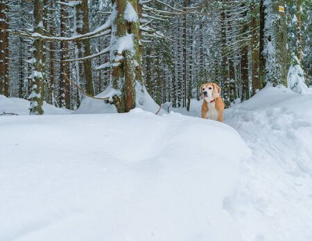 Beagle dog waiting on the deep snow forest path during the outdoor walking tour. Funny pets concept image.