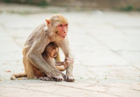 Mother monkey sitting on ground protecting and nurturing its cub looking around. Funny animals concept image.