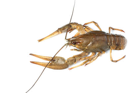 Alive crawfish isolated on white background with shadow Stock Photo