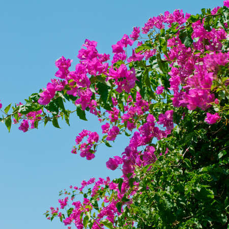 Pink blooming bougainvilleas against the blue sky