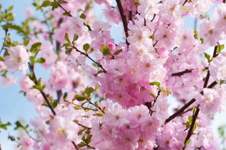 Beautiful pink flowers of Almonds trilobate (Louiseania triloba blossom) on the blue sky background Stock Photo