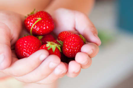 Fresh picked strawberries in the hands of a child