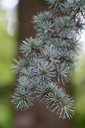 Branch of a Atlas Cedar (lat. Cedrus atlantica