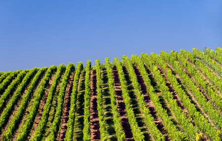 Vineyard in Pfalz, Germany Stock Photo - 7539897