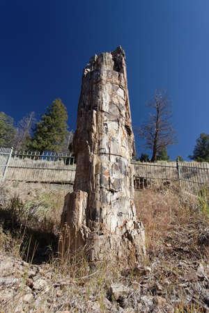 petrified fossil: Petrified tree, Yellowstone National Park, Wyoming, USA Stock Photo